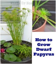 How to grow dwarf papyrus. These ancient plants are easy to grow both indoors and outside. www.whatsurhomestory.com