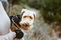 Shelby Atoka, my Welsh Terrier. On a walk in Cape Town Constantia Welsh Terrier, Cape Town, Walking, Accessories, Walks, Hiking, Jewelry Accessories