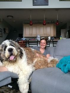 Saint Berdoodle: Saint Bernard and Poodle The 12 Funniest Poodle-Mix Breed Names Source by trevaallison The post The 12 Funniest Poodle-Mix Breed Names appeared first on Avery Dogs. Saint Bernard Poodle, St Bernard Dogs, Saint Bernard Mix, Poodle Mix Breeds, Poodle Mix Dogs, Big Dog Breeds, Huge Dogs, Giant Dogs, Cute Puppies