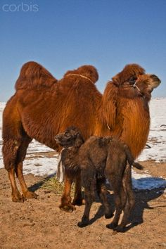 Bactrian Camel and Calf - Mongolia - These are the camels with 2 humps. The other camels one sees in Saudi Arabia and the Sahara usually have ONE hump. Types Of Animals, Animals Of The World, Animals And Pets, Baby Animals, Cute Animals, Reptiles, Mammals, Alpacas, Beautiful Creatures