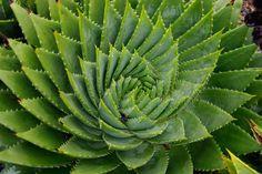 Aloe polyphylla. Spiral Aloe