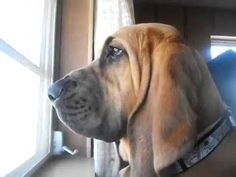 Tank the Bloodhound Howling - YouTube