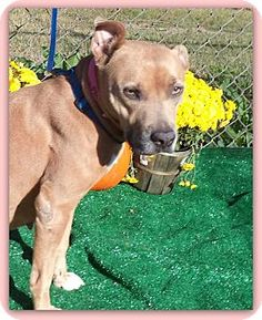 Act quickly to adopt BAMBI. Pets at this Shelter may be held for only a short time.Marietta, GA - American Pit Bull Terrier Mix. Meet BAMBI a Dog for Adoption.
