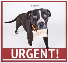 STATUS UNKNOWN - Fabian - URGENT - SHORT ON SPACE MEANS FABIAN IS SHORT ON TIME - Dekalb County Animal Shelter in Decatur, Georgia - ADOPT OR FOSTER - 2 year old Male Am. Pit Bull Mix - Fabian steals hearts wherever he goes. This super sweet boy loves to rest his head in your lap and look at you lovingly. He is a little shy, but he finds comfort in the humans around him. His adoption includes his neuter, microchip, vaccinations, and more!