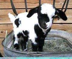 Bitty baby goat in a bucket.