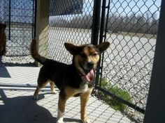 Teddy is an adoptable Corgi Dog in Hartford, KY. Teddy and his buddy were left in the back yard when his owners moved away. A neighbor finally noticed the dogs were abandoned and called animal control...