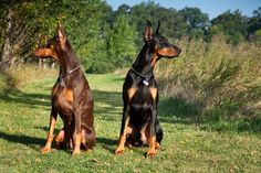 """Fun Fido Fact:  Dobermans are known as """"velcro dogs"""" because they stick so closely to their owners side :)"""