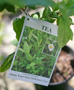 Grow your own tea: Camellia sinensis Chinese tea shrub. Can make black or green tea with it.