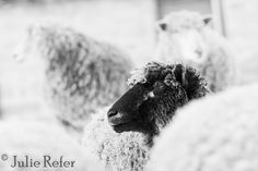Sheep photography sheep pictures black and white by JulieRefer