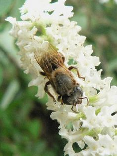 """Melipona beecheii: it's a Central American """"stingless"""" bee species that produces honey with anti-microbial properties, frequently used as medicine by the Mayans. They are sensitive to pesticides and like to colonize in hollowed logs. They are also great pollinators of your prettiest flowers and native plants!"""