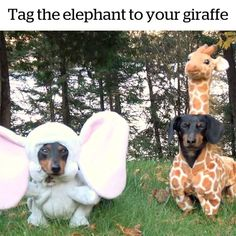Cuteness overload Credit: Crusoe the Celebrity #dachshund #dogobidience Dachshund Facts, Dachshund Breed, Long Haired Dachshund, Dachshunds, Doggies, Best Apartment Dogs, Crusoe The Celebrity Dachshund, Clever Dog, Most Popular Dog Breeds