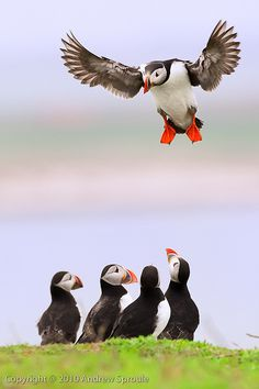 Andrew Sproule - Atlantic Puffin by naturesbestblog.com, via Flickr