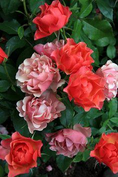 ~Beautiful Bouquet of Rose's~ Most Beautiful Flowers, All Flowers, Pretty Flowers, Beautiful Gardens, Orange Roses, Pink Roses, Floribunda Roses, Ronsard Rose, Coming Up Roses