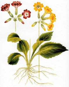 Primula elatior, was included in Volume 9 of Icones Plantarum, which was published in Vienna in The author was Ferdinand Vietz Retro Flowers, Ferdinand, Botanical Illustration, Hand Coloring, Botany, Vienna, Weed, Illustrators, Decoupage