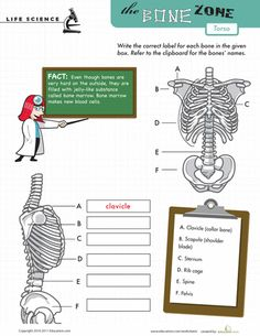 Worksheets: Learn the Bone Zone: Torso