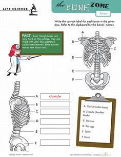 Worksheets: Learn the Bone Zone: Torso