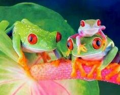 Family of red eyed tree frogs