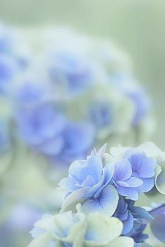 Hydrangea~  via blossoms & bliss.  that's how to take a picture of hydrangea.. awesome.