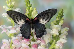 Female Great Mormon - Papilio memnon