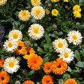 Eetbare bloemen: enkele vaak gebruikte soorten en smaken Gerbera, Clematis, Floral Arrangements, Plants, Decor, Floral Swags, Decorating, Flower Arrangement, Plant