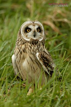 Short-eared Owl (Asio flammeus) by Nigel Blake