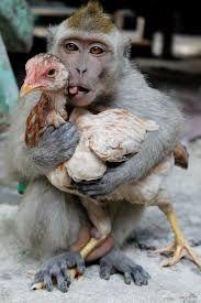 Bildresultat för chicken love