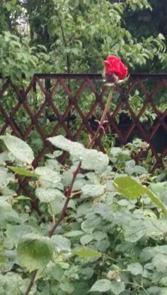 Rose in my garden