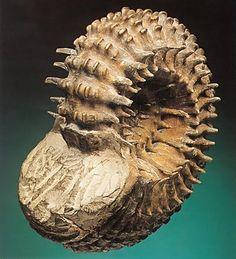 Ammonite Fossil. Cretaceous Period.