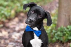 Bo is a handsome and spirited 9-month-old Labrador Retriever mix. He is charismatic, playful, and a ton of fun! Bo can be stressed and skittish in the shelter setting, but once he spends time with you he becomes a much more relaxed pooch, so please get to know him in one of our visiting areas! Bo loves to go for walks, hikes, and car rides, and he is equally enthusiastic about playing fetch and pouncing on squeaky toys! Bo was ADOPTED! from Seattle Humane, January 2017