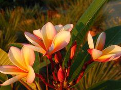 Plumeria (Chaing Mai Rainbow) Chaing Mai, Rainbow, Plants, Fotografia, Rain Bow, Rainbows, Plant, Planets