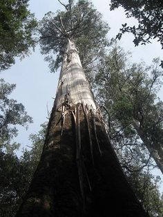 tallest tree in the world, Strahan Tasmania Australia Great Places, Places To See, Beautiful Places, Western Australia, Australia Travel, Melbourne Australia, Forest Habitat, Countries Of The World, Continents