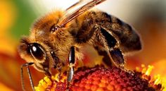 There has been an enormous amount of research which shows that our current regulations which protect the creatures that pollinate much of our food is extremely inadequate. It's been published in a number of peer-reviewed journals showing how widely used pesticides have a very damaging effect on bees.