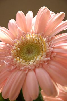 Pink Gerbera Daisy What beauties! Real Flowers, Pink Flowers, Beautiful Flowers, Daisy, Pink Gerbera, Gerber Daisies, Gras, Planting Flowers, Flower Arrangements
