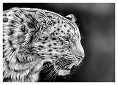 cheetah realistic draw tiger pencil drawings easy step animal nature animals drawing sketches adorable illustrations awesome fantasy graphite artists paintings