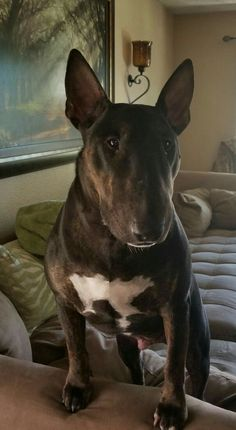 I see those peanuts and I want them now! Chien Bull Terrier, British Bull Terrier, Mini Bull Terriers, English Bull Terriers, Cute Cats And Dogs, Dogs And Puppies, Doggies, Best Dog Breeds, Best Dogs