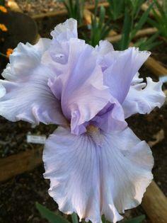 Photo of Tall Bearded Iris (Iris 'Envy of Dresden') uploaded by grannysgarden