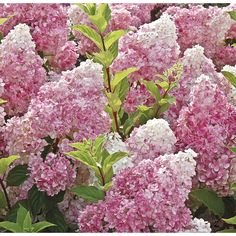 We just got a new hydrangea for one of our porch beds and I'm really excited about it. It is Hydrangea paniculata 'Vanilla Strawberry' a. Hortensia Hydrangea, Hydrangea Flower, Pink Flowers, Hydrangea Garden, Hydrangea Varieties, Hydrangea Shrub, Fall Flowers, Cut Flowers, Perennials
