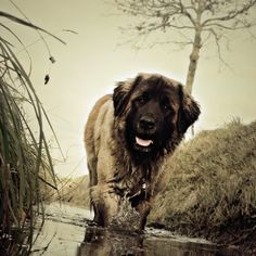 Leonberger--awesome mix of dog breeds: st. bernard, newfoundland and great pyrenese. what's not to love?