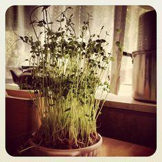 窓辺に置いて、毎日水を変えてあげるだけで成長します!毎日見るのも楽しいですね。