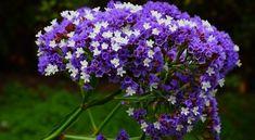 Betegségeknek ellenálló növények a kertben Drought Tolerant, Flowers, Flower Care, Low Water Gardening, Perennial Plants, Perennials, Plants, Water Garden, Types Of Flowers