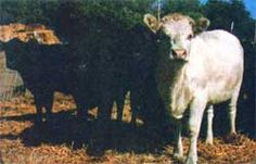 Instructions for Raising Bottle Calves - Sustainable Farming - MOTHER EARTH NEWS