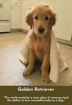Go to the webpage to see more about Golden Retrievers Check the webpage to read more...