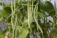 Bean Varieties that are easy to grow include snap-bush green beans, snap-pole gr. Bean Varieties t Indoor Aquaponics, Aquaponics Greenhouse, Aquaponics System, Hydroponics, Growing Peas, Bean Varieties, Best Beans, Plant Growth, Cool Plants