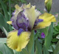 SDB Iris germanica 'Magnetic Storm' (Wood, 2006) Iris Flowers, Types Of Flowers, Exotic Flowers, Amazing Flowers, Planting Flowers, Beautiful Flowers, Tree Lily, Dwarf Iris, Iris Garden