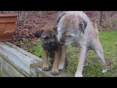 Border Terriers:Two's A Crowd
