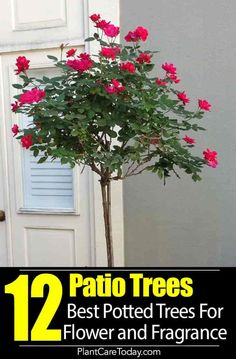 Patio Trees Best Potted Trees For Flower Fragrance And Patio Potted Patio Trees Add Height Privacy Color Flowers Fragrance To Small Areas And Tight Space Especially The Balcony Our Best Recommendations Details Potted Trees Patio, Patio Plants, Trees And Shrubs, Flowering Trees, Potted Plants, Porch Trees, Backyard Trees, Outdoor Trees, Potted Flowers