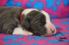 Bearded Collie, chiot 1 semaine