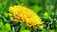 Pampeliška - zázračný plevel - Ordinace.cz Plants, Plant, Planets