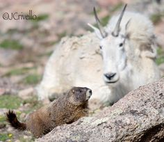 The mountain goat and the Marmot. Colorado.