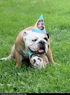 Bulldog puppy with his daddy. Whose birfday is it          /
